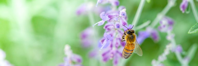 Honey bee sitting on small purple flowers collecting pollen